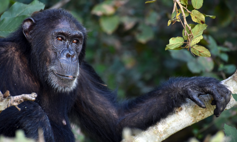 a chimpanzee in Gombe National Park, Tanzania